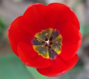 Red Tulip with Yellow and Purple Center