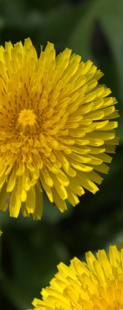 Dandelion Petals Have Jagged Edges