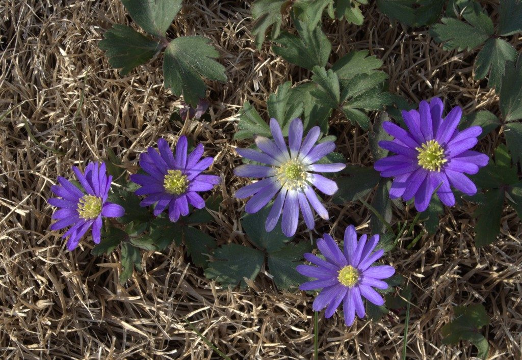 Early Spring Purple Anemones