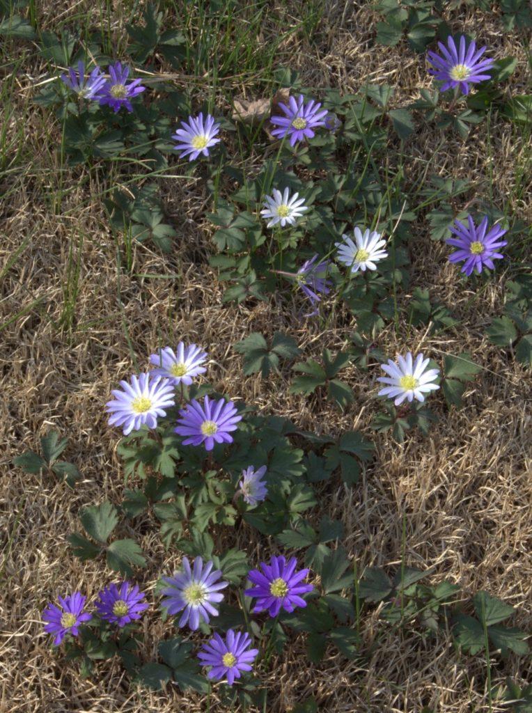 Purple and White Anemone Blanda
